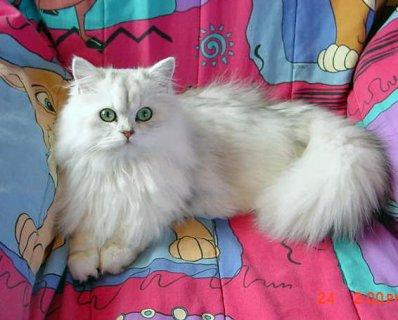 انثى للبيع من اجمل القطط وباسعار مغريا جدا.
