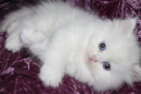 اجمل القطط الصغيره للبيع وبسعر مغرى