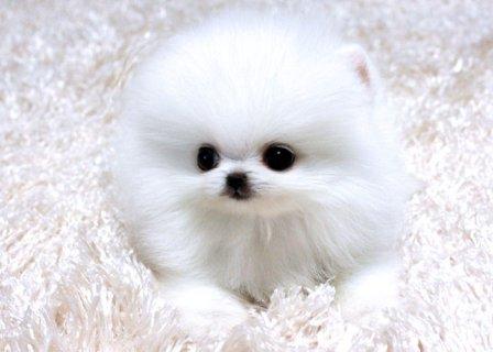 Four teacup Gorgeous Pomeranian Puppies for adoption