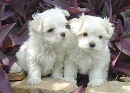 Two Lovely Maltese Puppies For Adoption