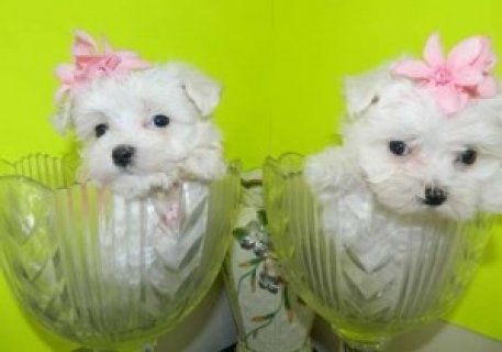 صور Maltese Pups for Sale 1