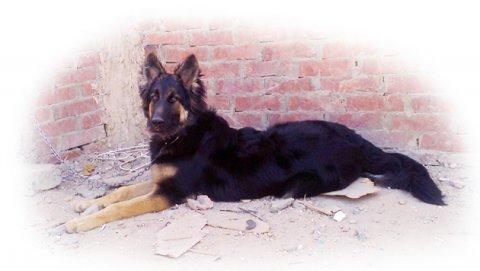 كلب جرمن شيبرت انثى