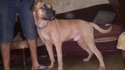 كلب بوكسر للبيع باسرع وقت سنه وشهرين