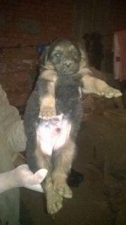 كلاب جراوي  بلجيكي عمر 35 يوم