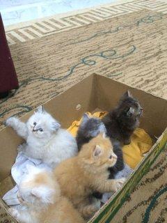 يوجد جميع انواع القطط وبارخص الاسعار ويوجد توصيل للمنازل