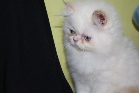 قط لبيع ذكر هيملايا اورنج