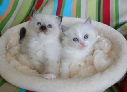 Affectionate Ragdoll kittens for Re-homing1