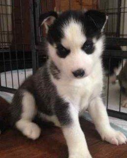 4 healthy black and white KC REG siberian husky pups
