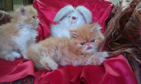 قطط بيرشن زورار للبيع