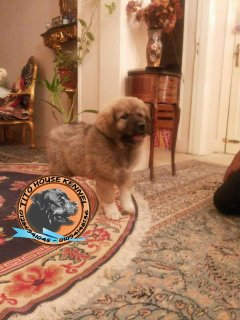 for sale female Super Caucasion puppies