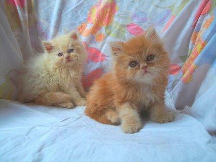 للبيع كيشو وميشو وميشا اشقى واجمل القطط الهاف عمر55يوم