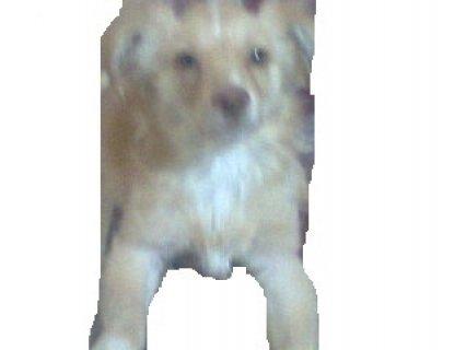 كلب لولو للبيع بسعر مغري
