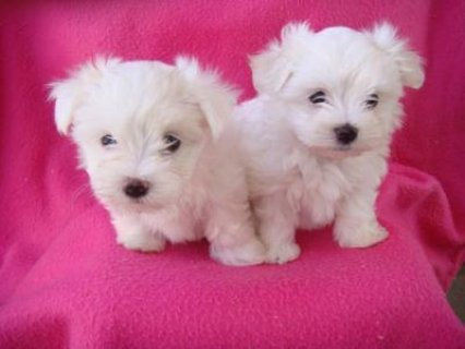 See male and female maltese puppies for rehoming
