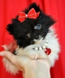 Multicolored Pomeranian Puppies for Adoption