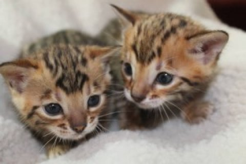 Adorable Bengal kittens....