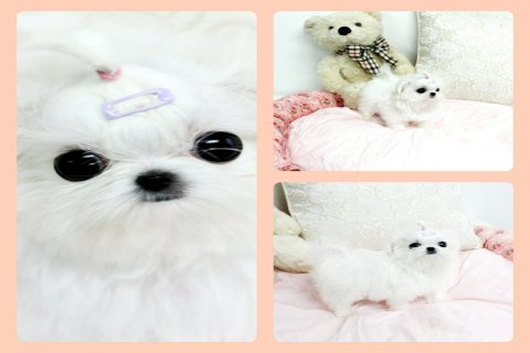 white teacup maltese puppies males and females for sale