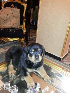 كلب للبيع روت وايلر