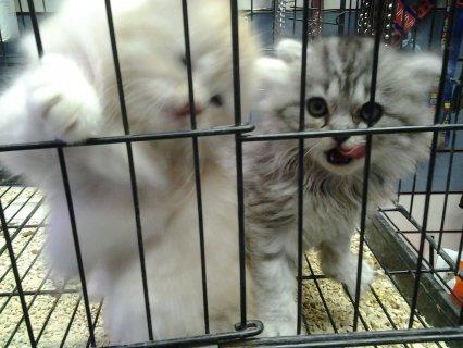 قططتين شيرازى اصلي بيور للبيع معا شهر ونص وسعر مميز بالاسكندريه