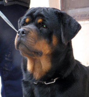 super imported Rottweiler Female ,, multi champion parents