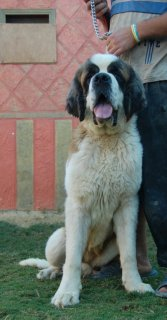 Multi champion super female saint bernard,,,
