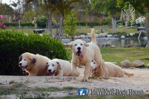 """الكلب العملاق \"""" الالباي \"""" +( كلب \"""" ميني جريفون \"""" هدية)"""