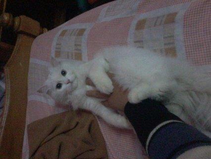 قطه شيرازى جميله ولعبيه
