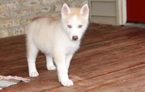 Shadow Shadow Siberian Husky Puppies For Sale