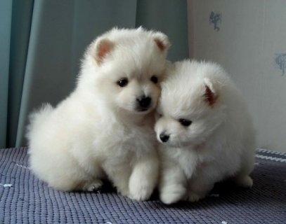 Playful Pomeranian Puppies for Good Homes