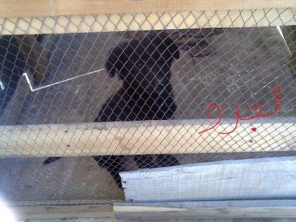 كلب بلاك كود بيور