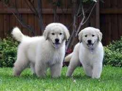 ★★★★Male and Female Golden Retriever Puppies★