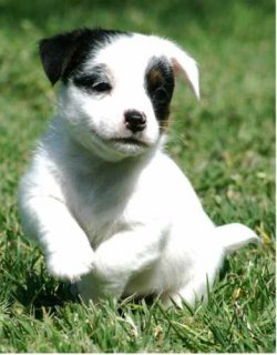 Outstanding Male and Female Jack Russell Terrier Puppies For Ado