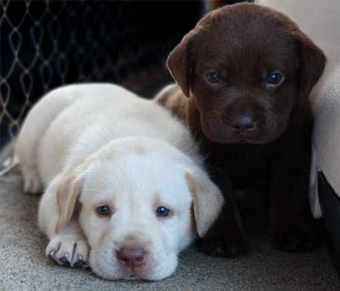 Quality kc male and female Labrador puppies available for adopti