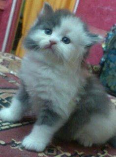 قطة شيراز للبيع