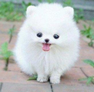 Teacup pom Puppies