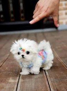Cute M&F Maltese pups AKC registered