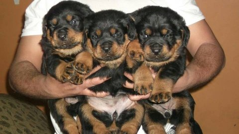 Rottweiler Puppies High Breed