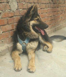 اشرس كلب جيرمن شيبرد 8شهور