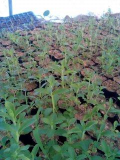 شتلات نبات ستيفيا الرائعة