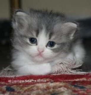 فرصه لن تتكرر 5 قطط شيرازى فيس مون عمر شهران