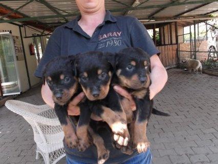 كلاب روت وايلر