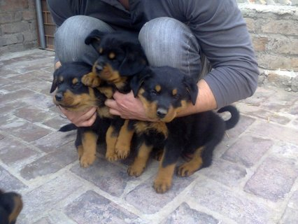 صور american rottwilier puppies for sale 38 days 1