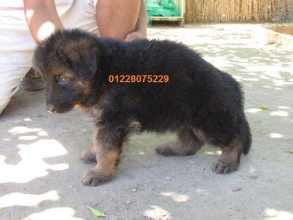 Longhair german shepherd puppies for sale,01228075229.
