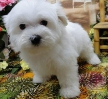 Outstanding Maltese Pup