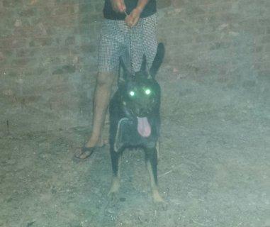 كلب بلاك جاك على بلاك كود عمره 8 اشهر للبيع او البدل بكلب اخر