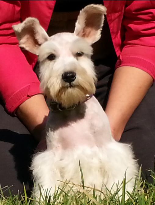 كلب ميني شناوزر