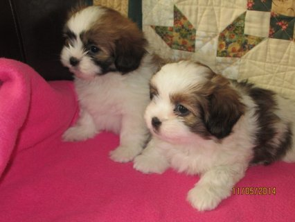 An adorable litter of six Papastzu puppies - Shih Tzu cross Papi