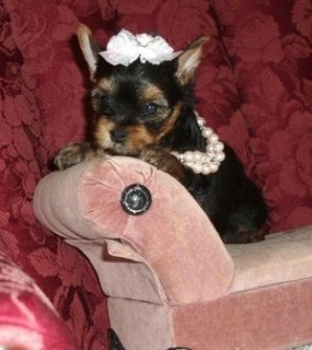 Adorable tiny teacup yorkies available