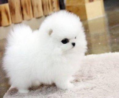 Pom Puppies