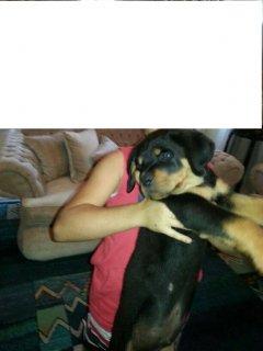كلاب رود وايلر للبيع