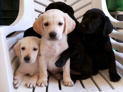 كلاب لابرادور للبيع Labrador Retriever